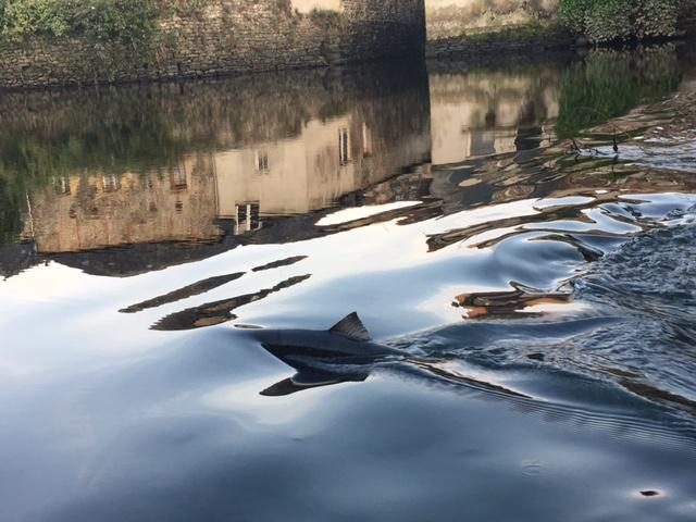 Saumon en montée au Pont de Rohan à Landerneau (Photo P. RIOU)