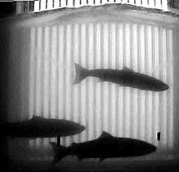 3 saumons devant la caméra!
